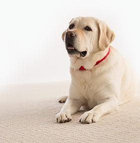 dog on clean carpet